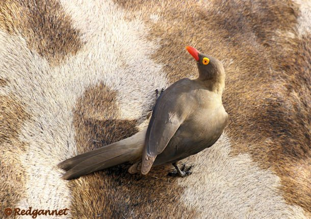 JNB 13Dec14 Red-billed Oxpecker 01