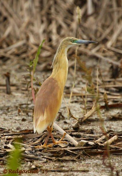 JNB 16Jan15 Squacco Heron 02