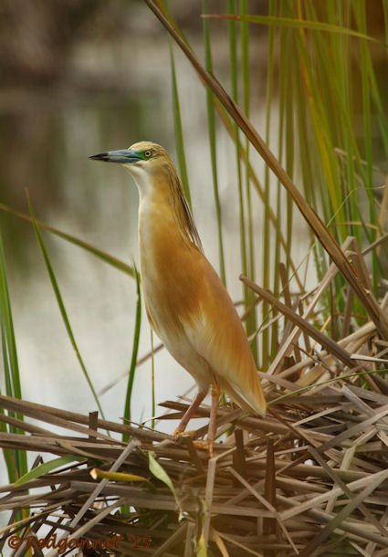 JNB 16Jan15 Squacco Heron 03