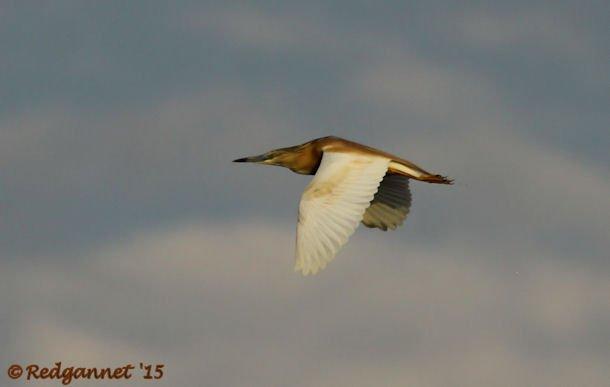 JNB 16Jan15 Squacco Heron 05