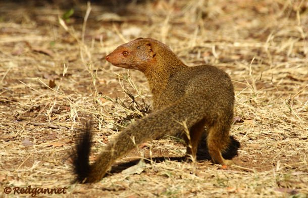 JNB 19Jul14 Slender Mongoose 01 - Copy