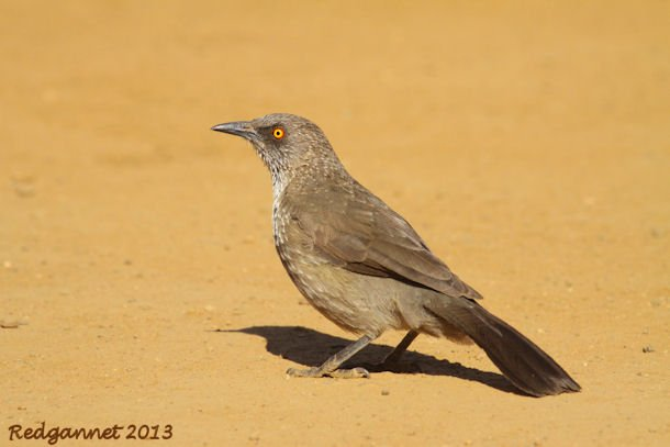 JNB 25Jun13 Arrow-marked Babbler 01