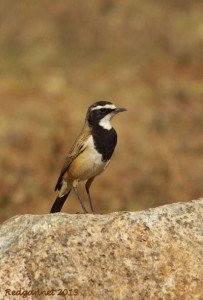 JNB 25Jun13 Capped Wheatear 02