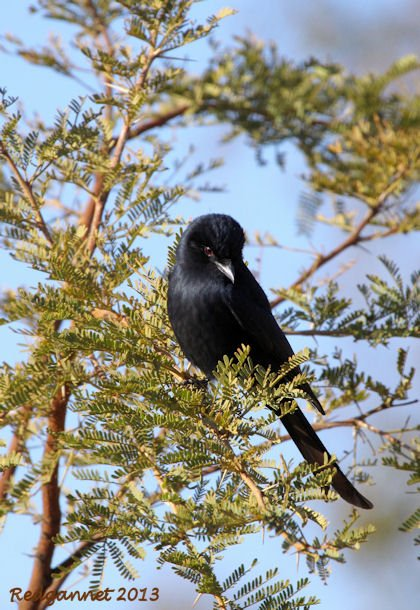 JNB 25Jun13 Fork-tailed Drongo 03