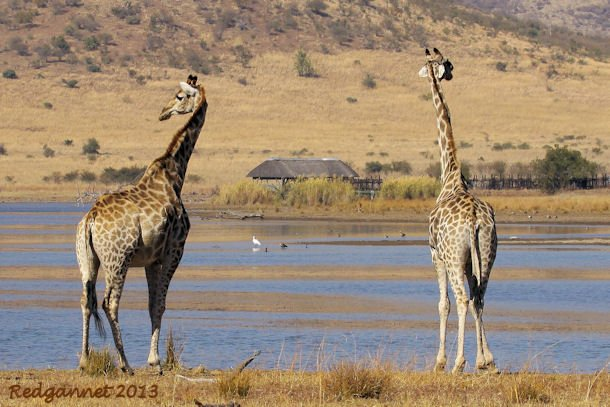 JNB 25Jun13 Giraffe 01