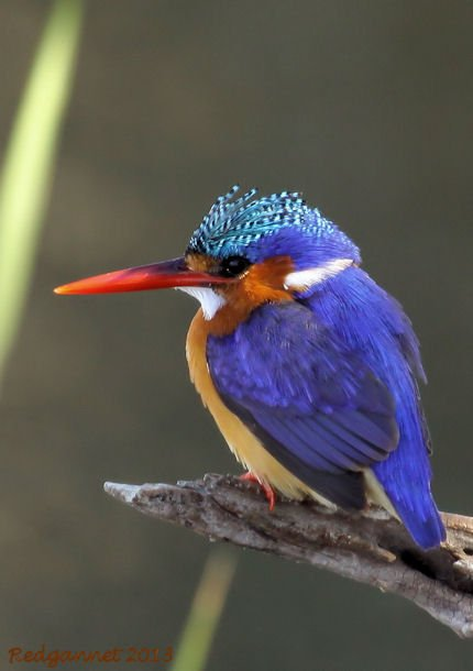 JNB 25Jun13 Malachite Kingfisher 01