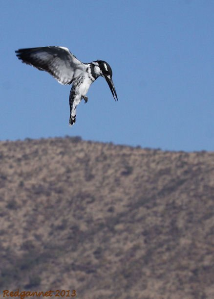 JNB 25Jun13 Pied Kingfisher 01