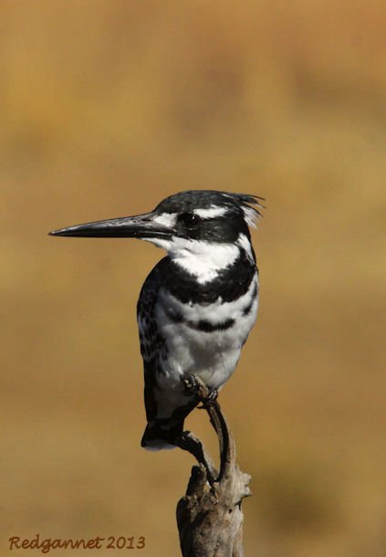 JNB 25Jun13 Pied Kingfisher 06