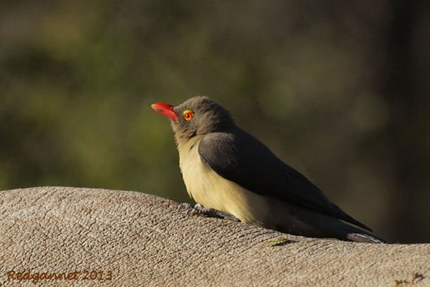 JNB 25Jun13 Red-billed Ox-pecker 03 - Copy