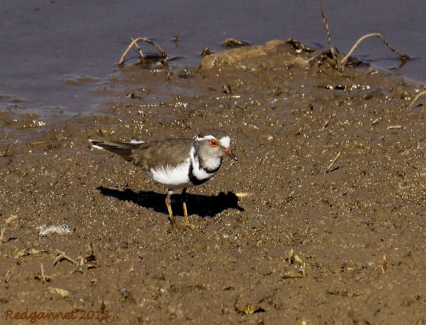 JNB 25Jun13 Three-banded Plover 03