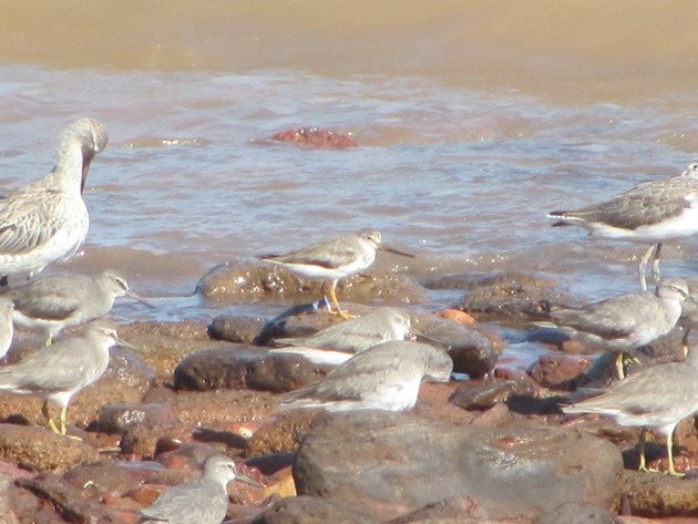 Japan flagged Terek Sandpiper (3)