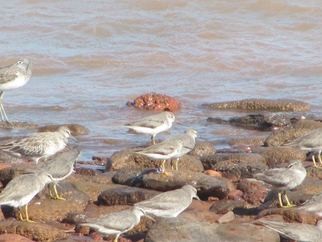 Japan flagged Terek Sandpiper (4)