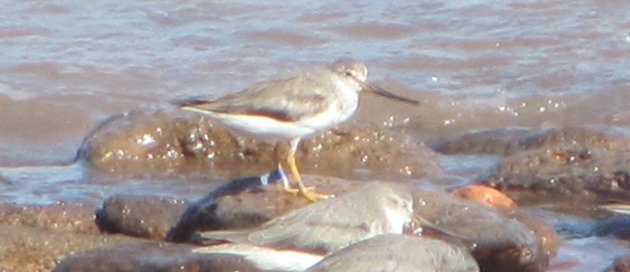 Japan flagged Terek Sandpiper (7)