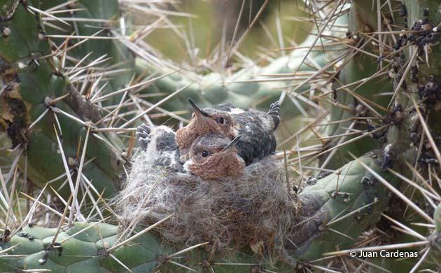 hummingbird chicks