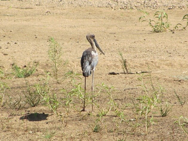Juvenile Black-necked Stork