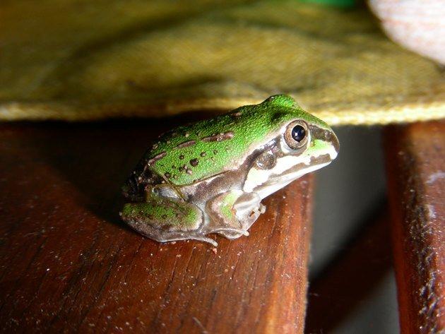 Juvenile Giant Frog