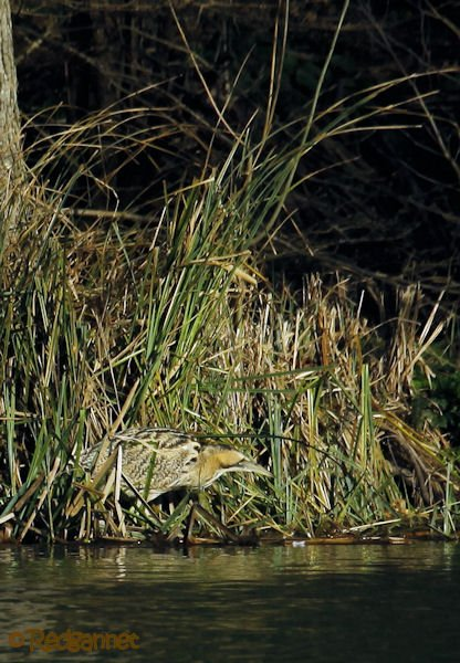 KEN 09Feb16 Great Bittern 05