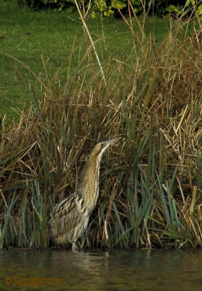 KEN 09Feb16 Great Bittern 14