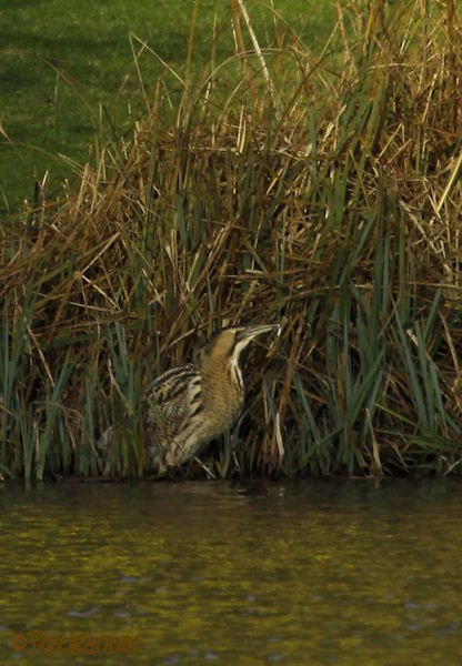 KEN 09Feb16 Great Bittern 16