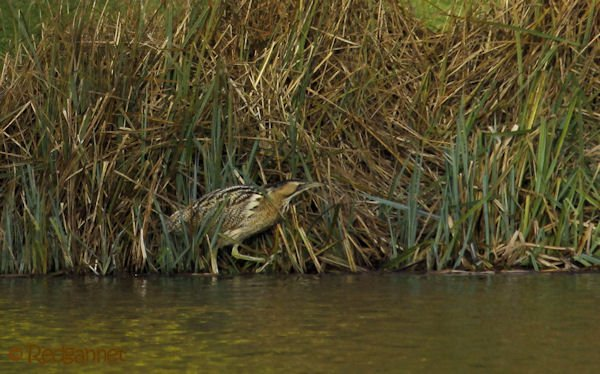 KEN 09Feb16 Great Bittern 17