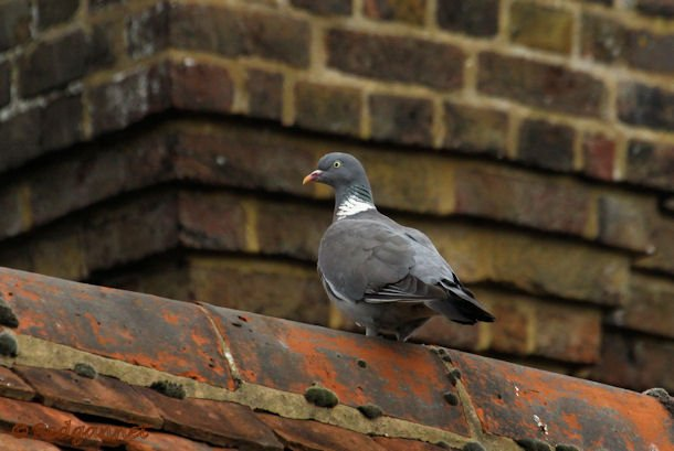 KEN 09Sep15 Woodpigeon 01