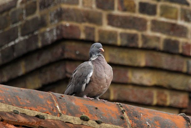 KEN 09Sep15 Woodpigeon 04