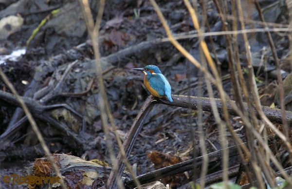 KEN 28Jan16 Common Kingfisher 01