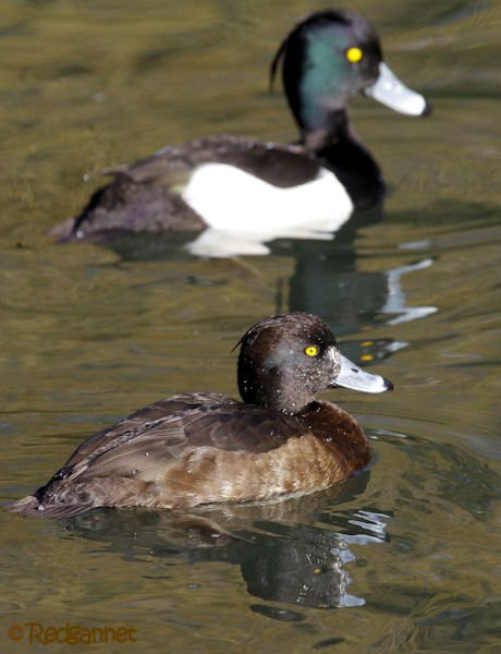 KEN 28Jan16 Tufted Duck 01