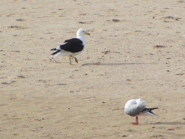 Kelp Gull & Silver Gull
