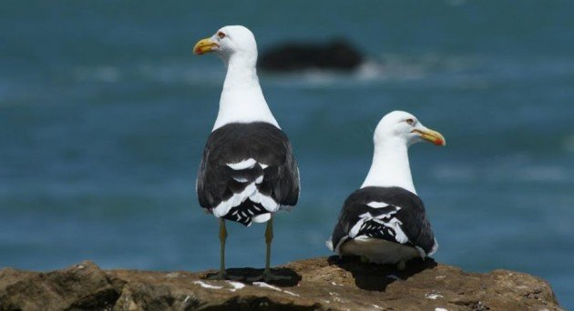 Kelp Gulls by Jorge Novoa