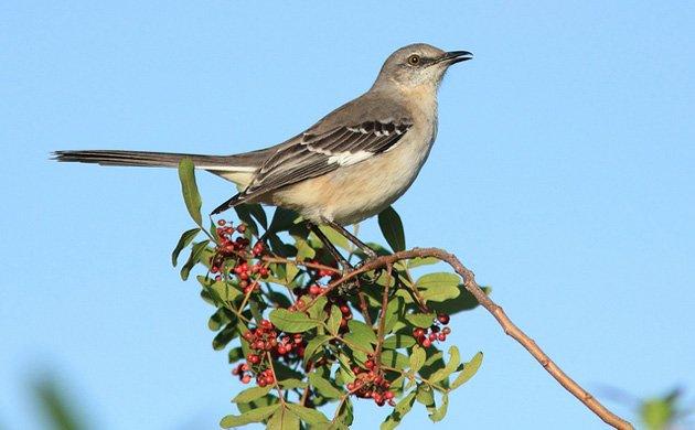 Mochingbird
