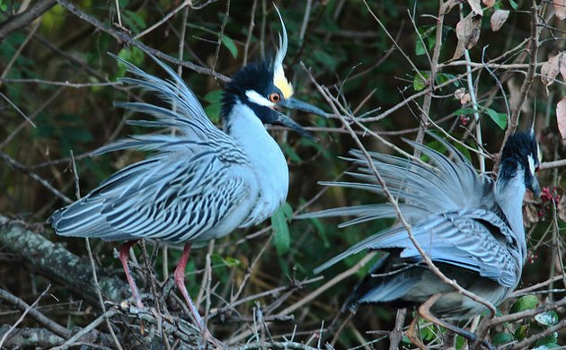 Yellow crowned night-herons