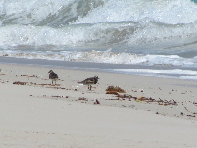 King Island Ruddy Turnstone