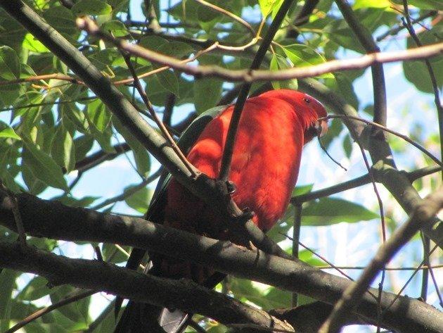 King Parrot (2)