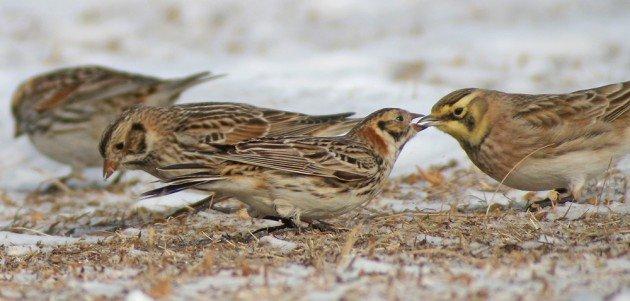 Lapland Longspur confronting Horned Lark