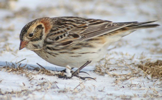 Lapland Longspur showing off the spurs