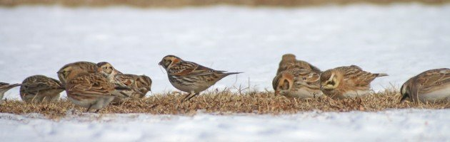 Lapland Longspurs and Horned Larks