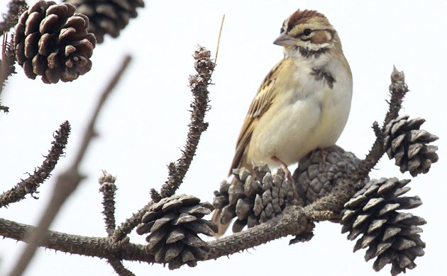 Lark Sparrow in New York
