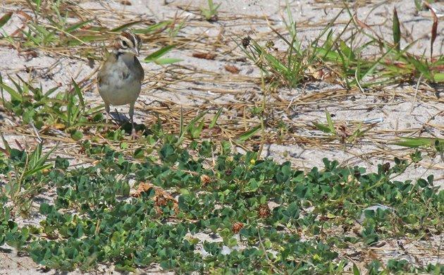 Lark Sparrow 2