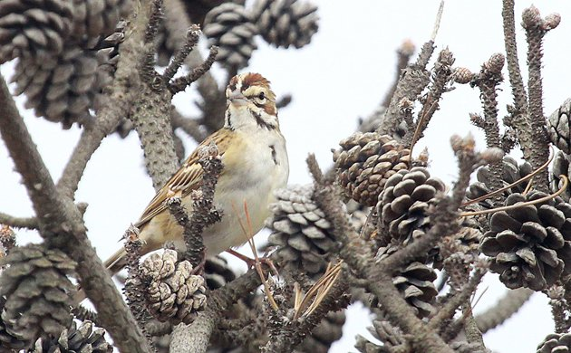 Lark Sparrow Chondestes grammacus