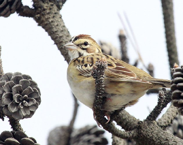 Lark Sparrow at Robert Moses State Park