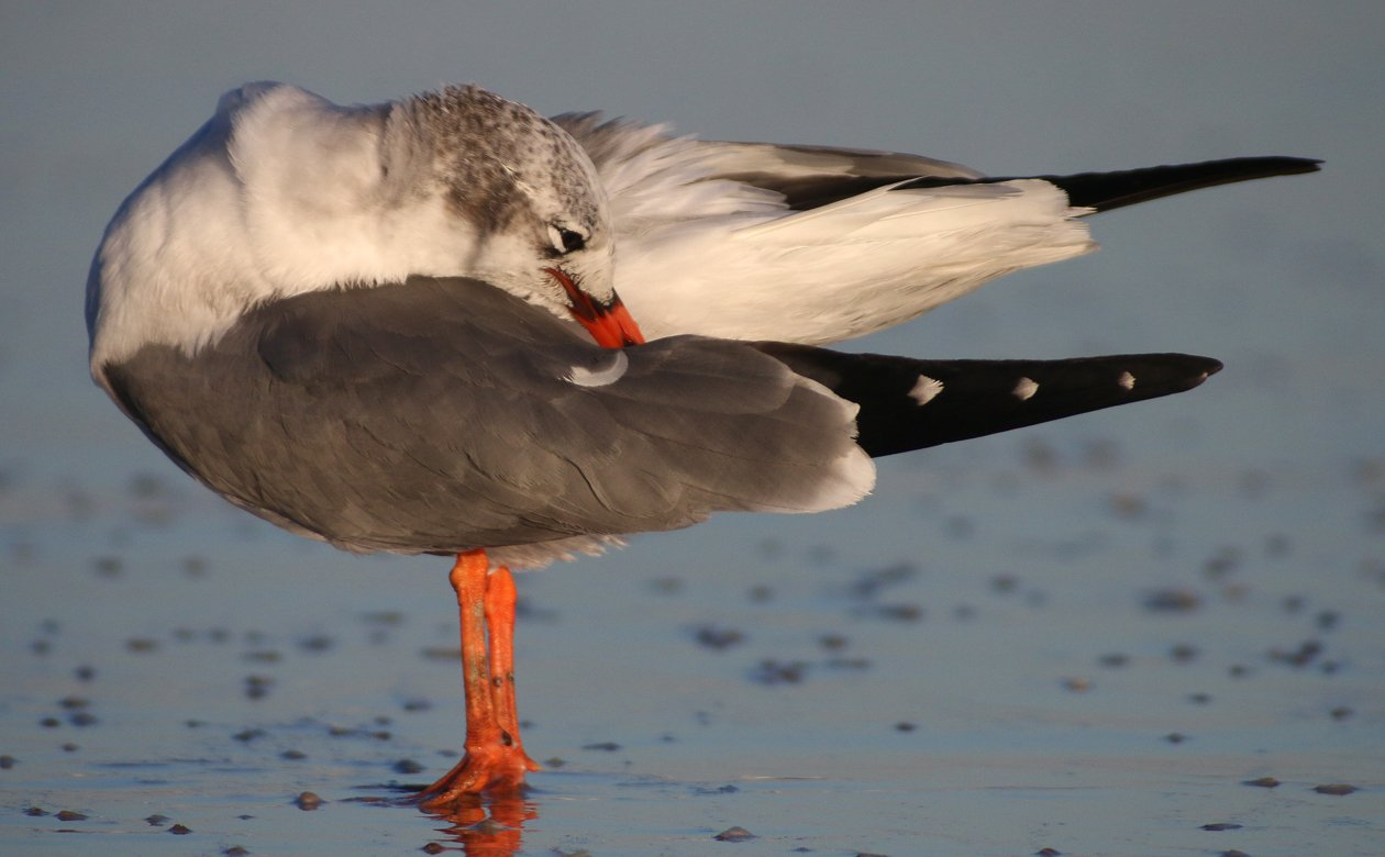 Laughing Gull with orange legs and bill