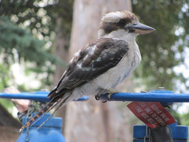 Laughing Kookaburra (6)