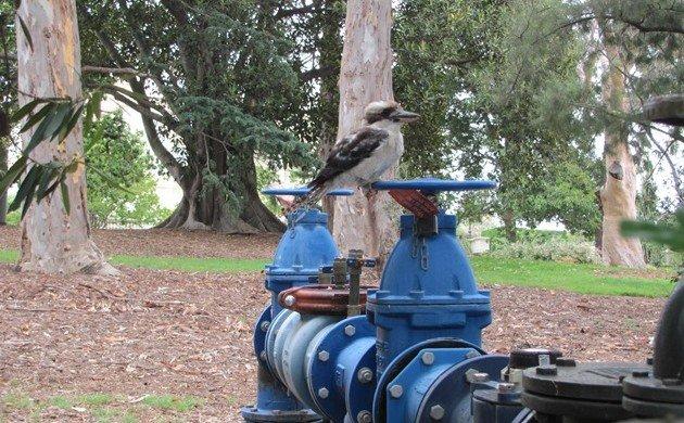 Laughing Kookaburra in attack mode!