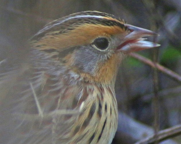 Le Conte's Sparrow tongue