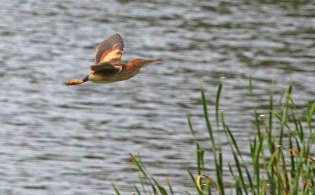 Least Bittern in flight