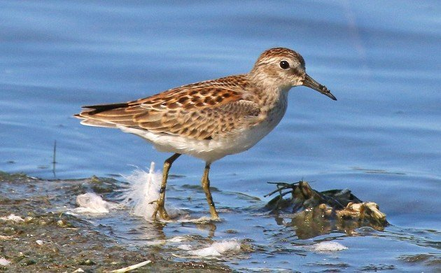 Least Sandpiper juvenile at Jamaica Bay
