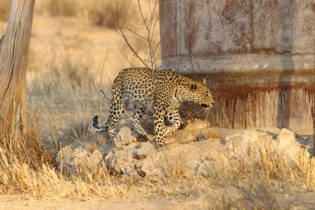 Leopard Kgalagadi Transfrontier NP SA AR-003