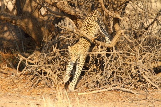 Leopard Kgalagadi Transfrontier NP SA AR-016