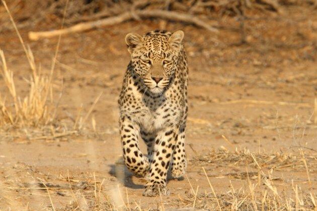 Leopard Kgalagadi Transfrontier NP SA AR-033